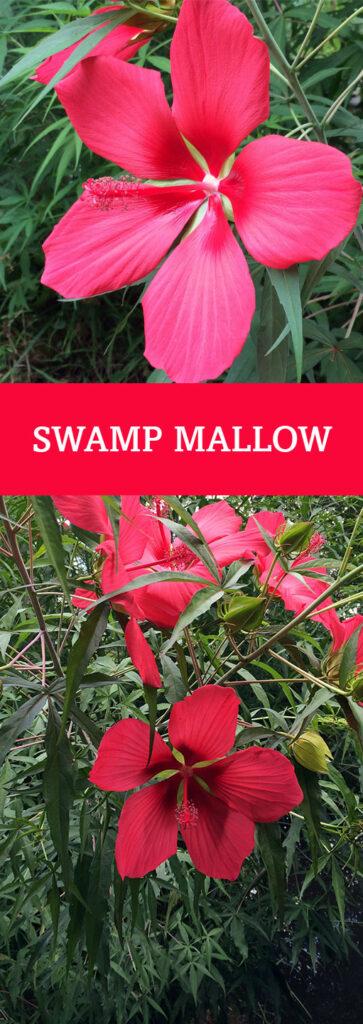 Swamp Mallow