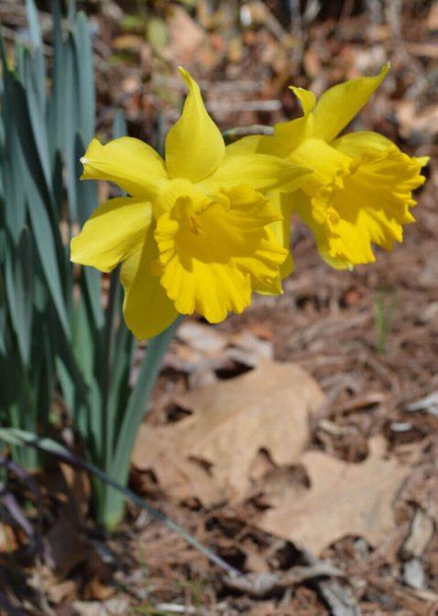 King Arthur daffodil