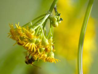 Bee on butterweed