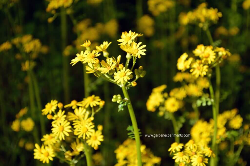 Patch of butterweed in my lawn