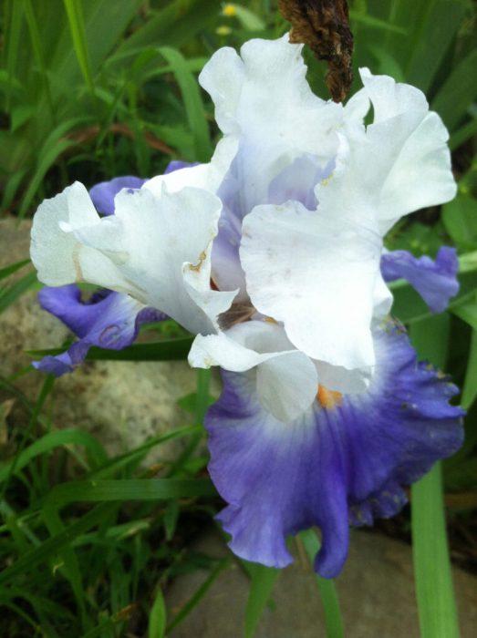 Blue and white bearded iris