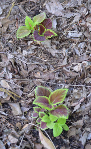 Coleus seedlings planted in the ground