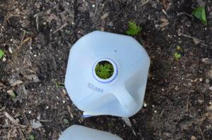 Marigold seedling covered by milk jug