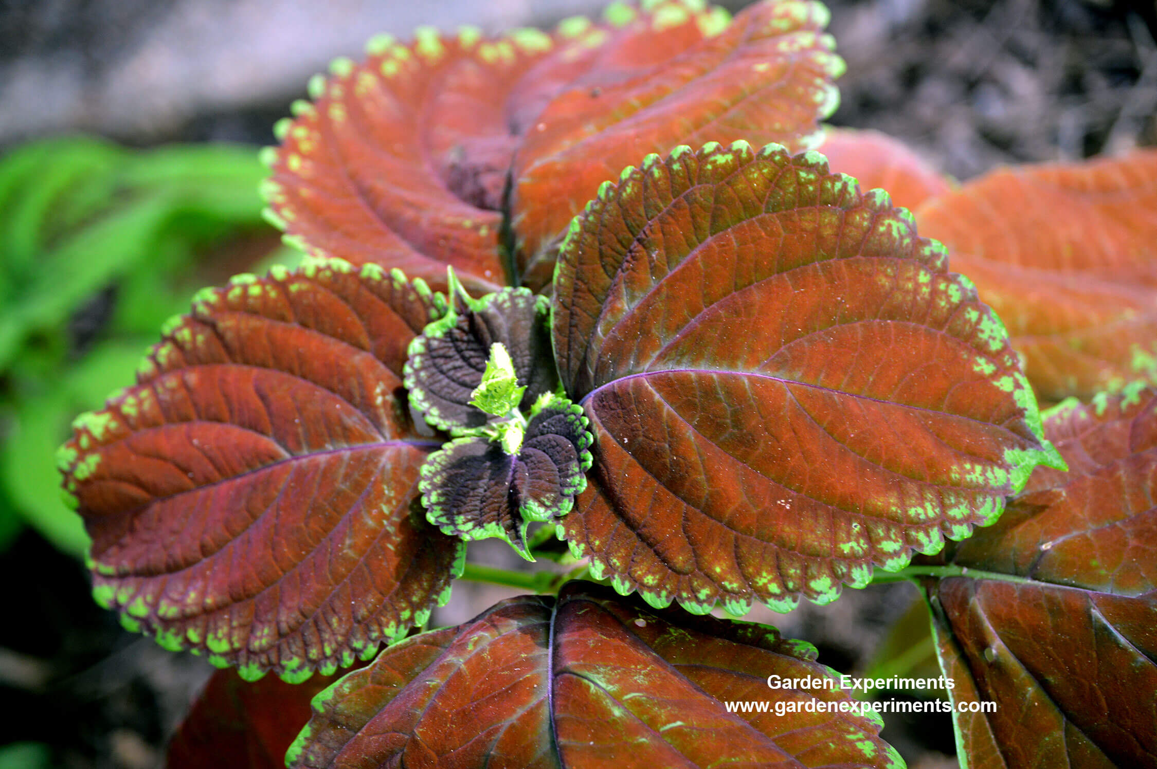 Coleus: Colorful Shade Plants Easily Grown From Seed or Cuttings