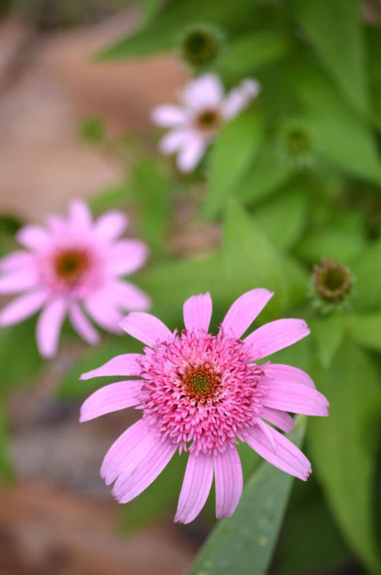 Echinacea double pink delight