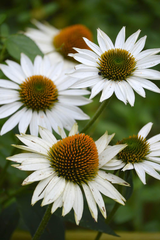 Echinacea Species Flowering Plants For Bees Butterflies And Birds
