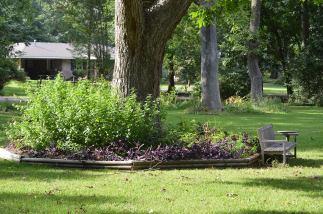 Lantana bed around pecan tree