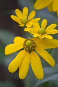 Cutleaf Coneflower: Rudbeckia laciniata