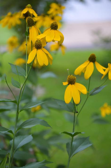 Cutleaf coneflower can grow up to 6 feet