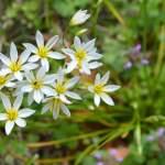 False Garlic - Nothoscordum bivalve