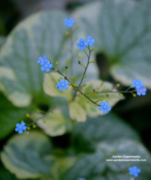 Brunnera macrophylla flower