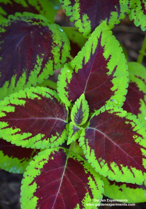 Green and red coleus