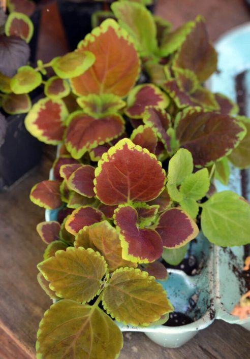 Coleus seedlings I grew