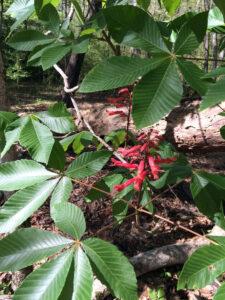 Red Buckeye Leaves
