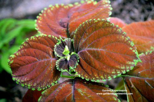 Orange-red coleus