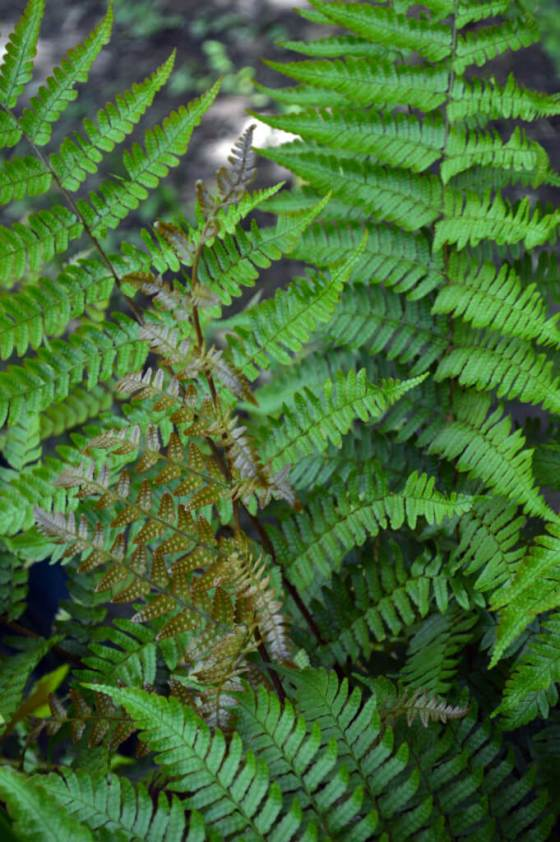 This hardy fern can be left outdoors. It dies back over winter.