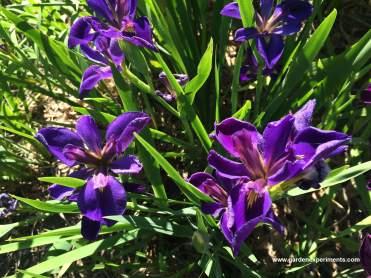 la-iris-dk-purple2