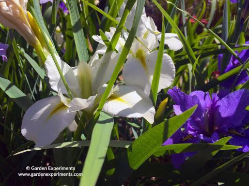 la-iris-white-web