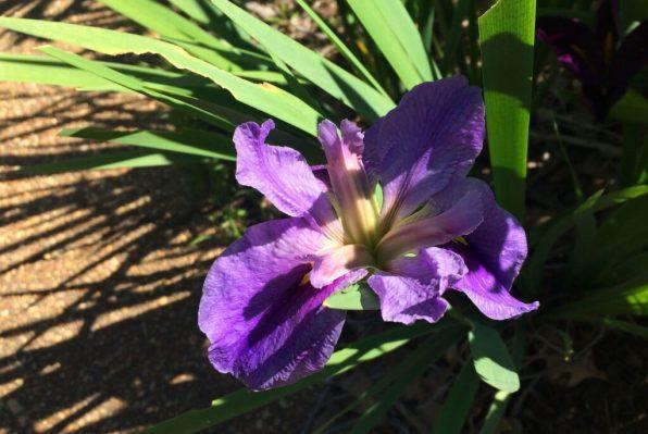purple-la-iris