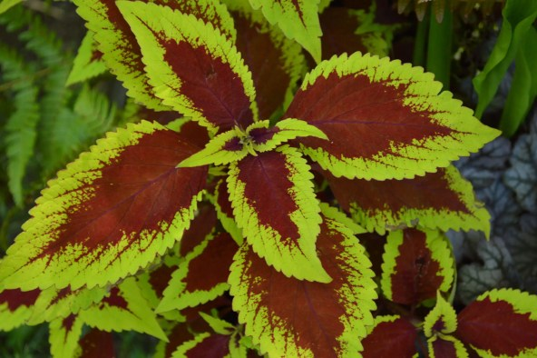 Red and lime green coleus leaves create abundant color in the shade