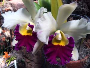 Orchids at the Frederik Meijer Gardens – Grand Rapids, MI