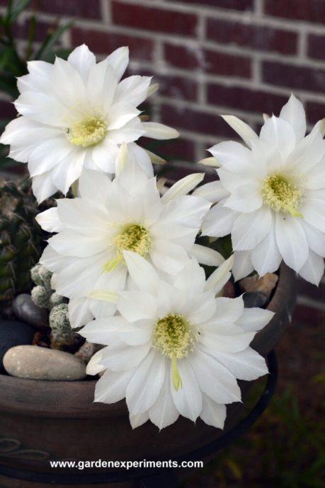 Echinopsis subdenudata blooms (Cactus)