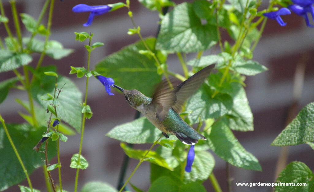 Ruby-throated hummingbird feeding on blue salvia