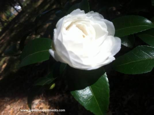 camellia7