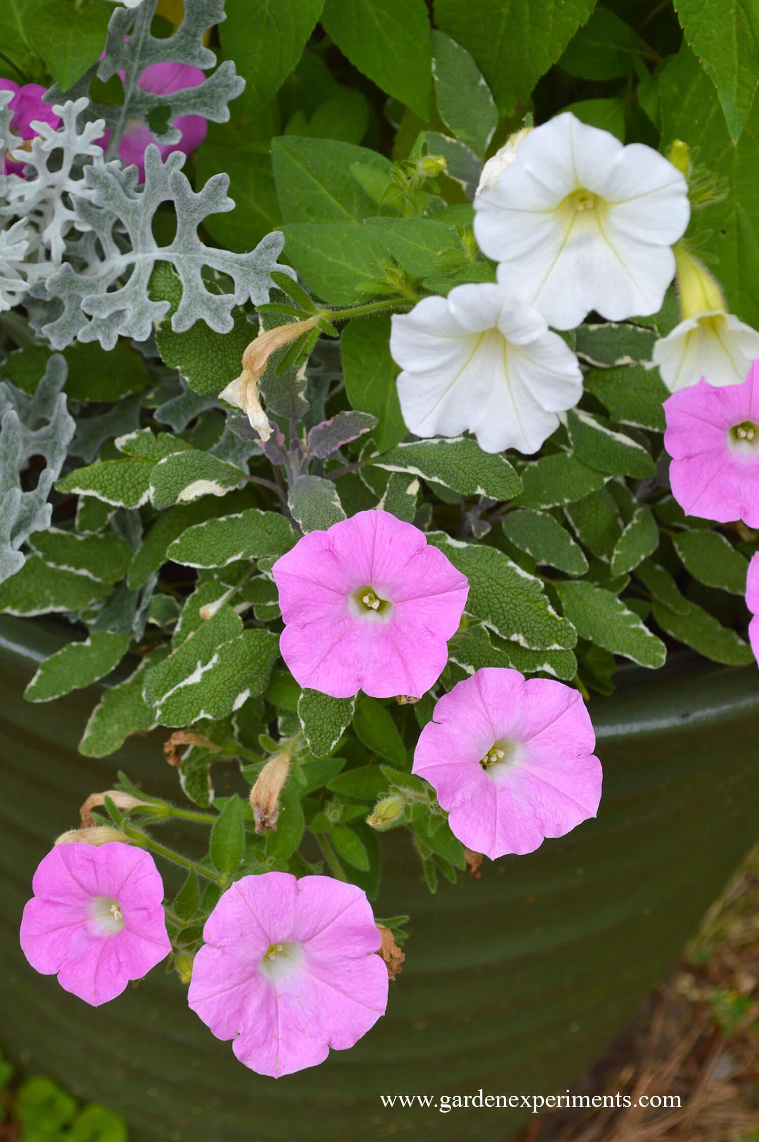 Pink Whitesilver Plant Color Combination