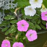 The pink-silver-white plant color combination