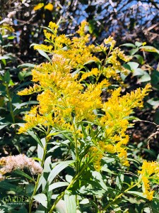 Goldenrod flowers blooming in late fall