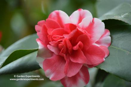 striped-camellia-web