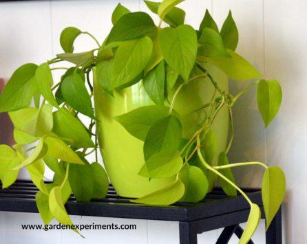 Lime Green Pothos