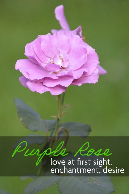 Purple Rose meaning love at first sight, enchantment, and desire