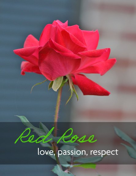 Red rose flower which means love, passion, and respect