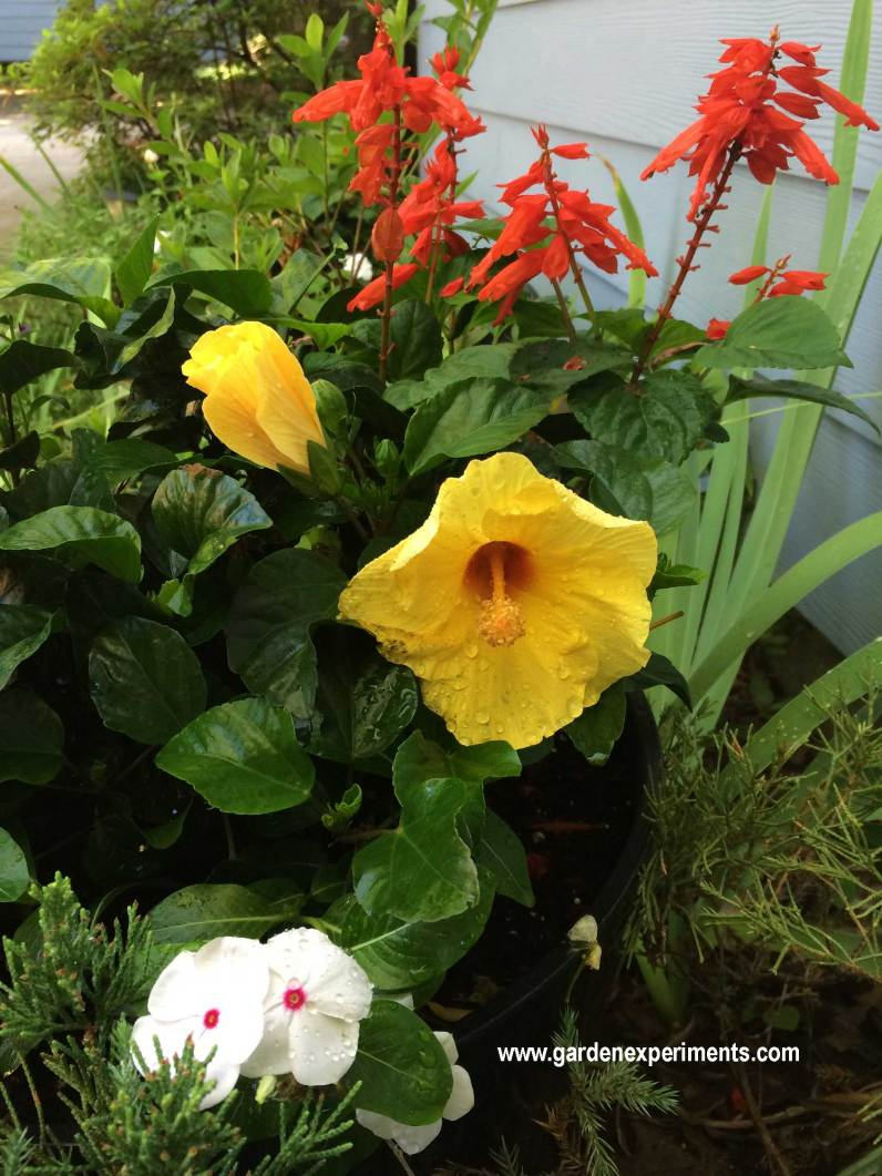 Better view of the yellow hibiscus in bloom