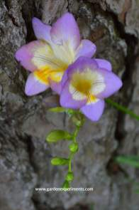 freesia-purple-web