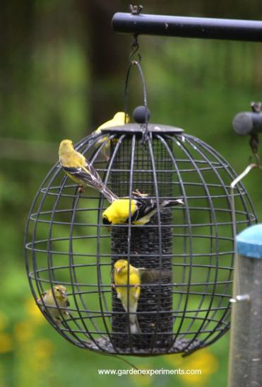 Goldfinches at the globe feeder