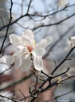hybrid-magnolia-white