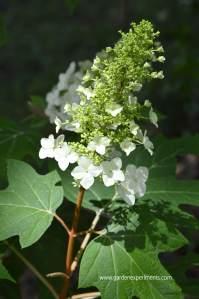 Beautiful, Large Blooms of the Oak Leaf Hydrangea Shrub