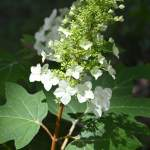 Beautiful, Large Blooms of the Oak Leaf Hydrangea Shrub