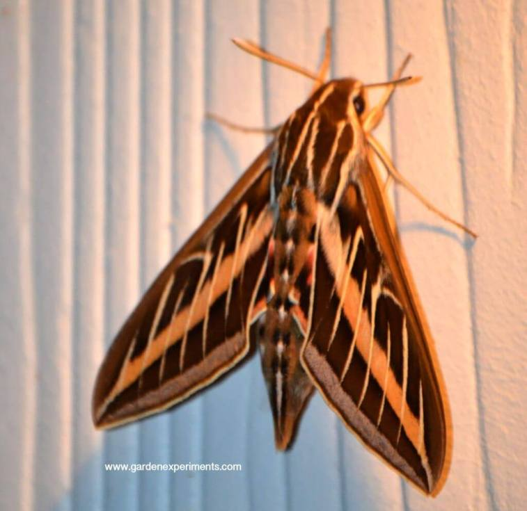 White-lined Sphynx Moth (Hyles lineata)