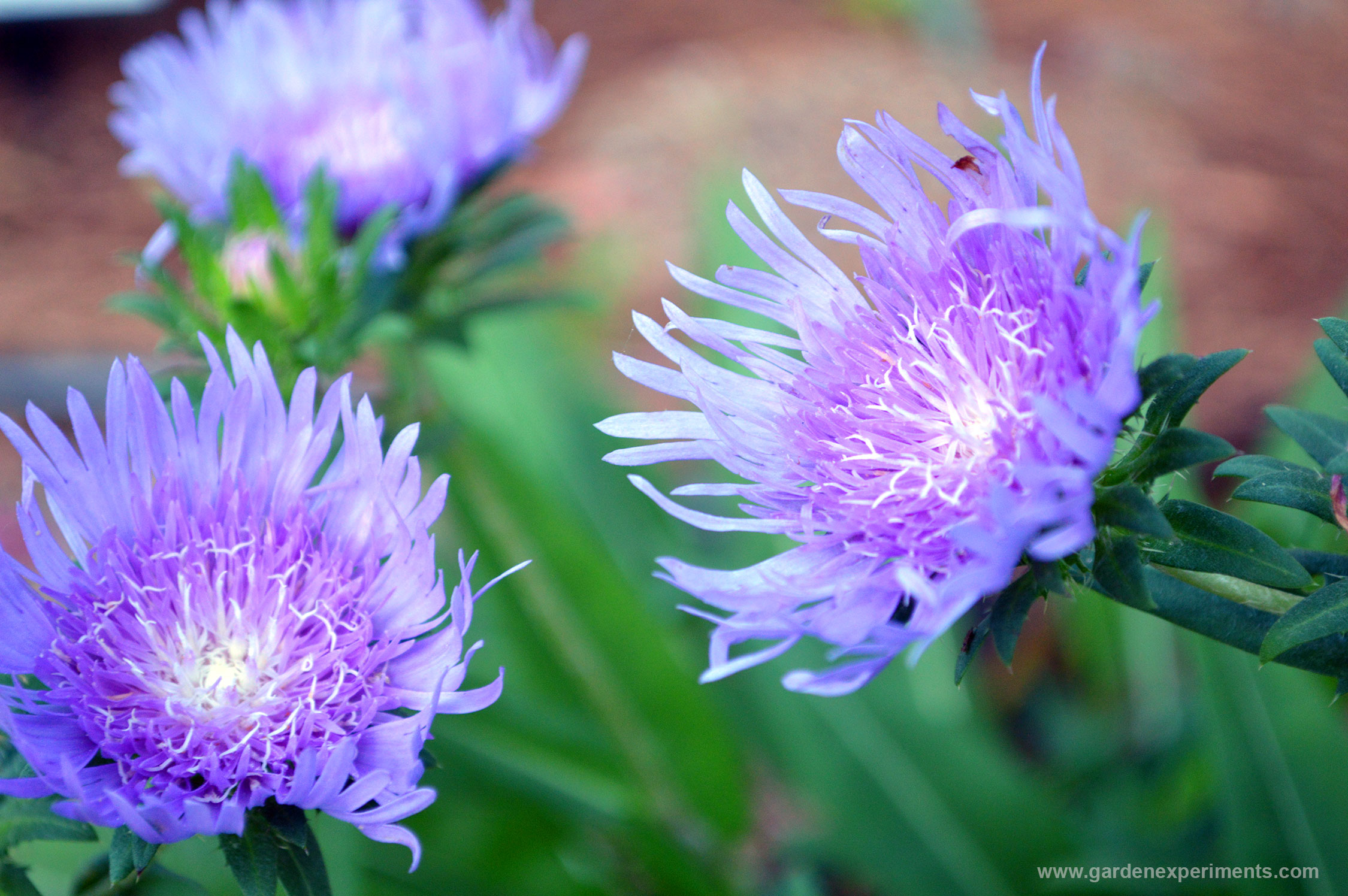 Stokes Aster Beautiful And Blue