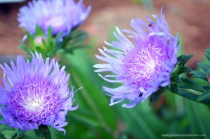Stokes Aster – Beautiful and Blue