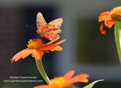 Gulf Fritillary Butterfly on Tithonia