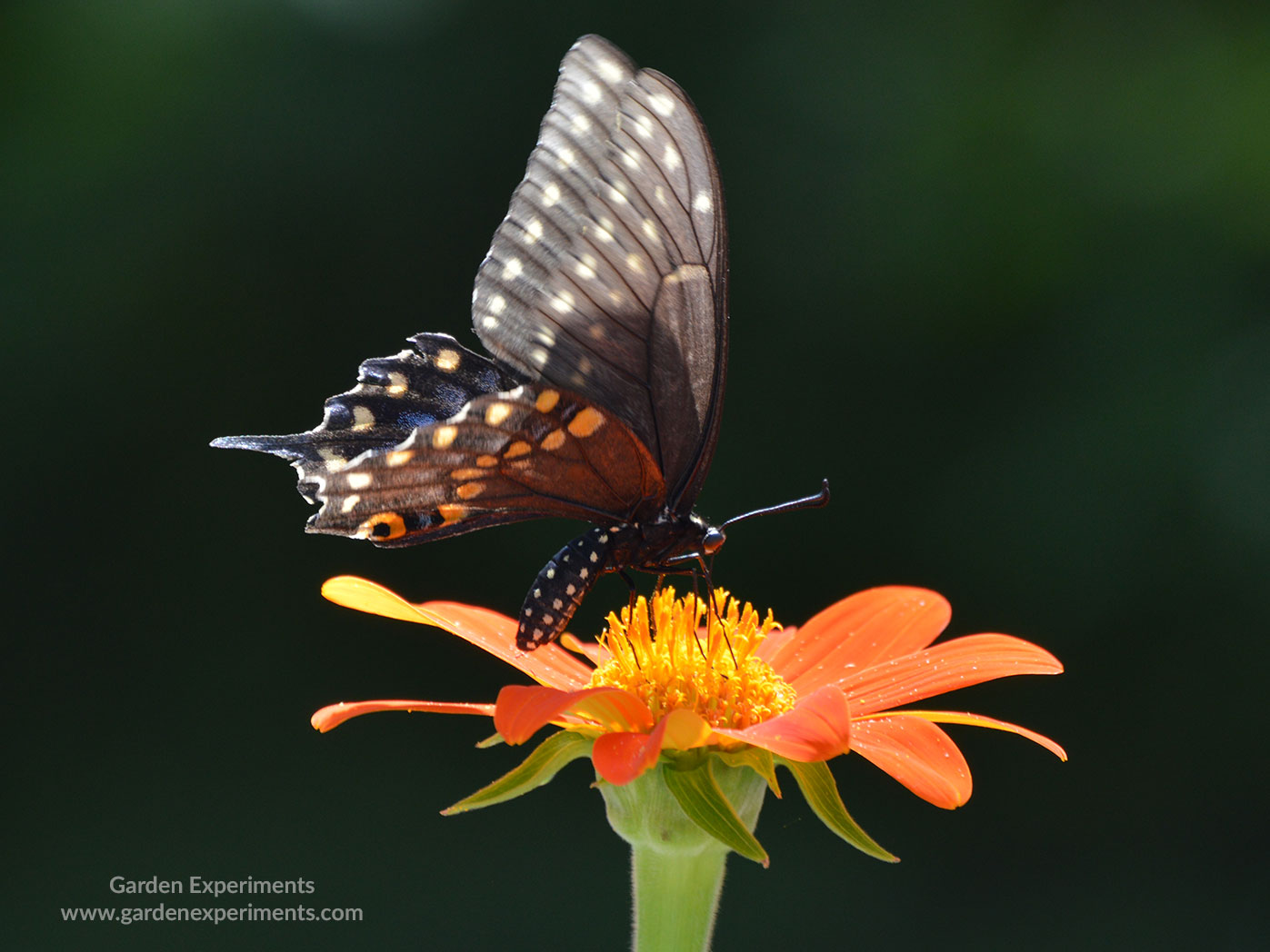 Female eastern tiger swallowtail butterfly on tithonia