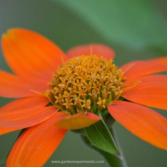 Mexican Sunflower - Tithonia rotundifolia
