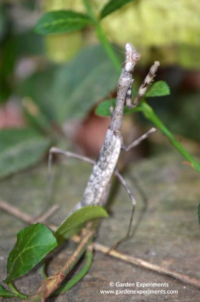 Brown praying mantis in my yard