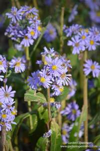 Fall Asters: Purple Blooms for Bees, Butterflies, & Beauty