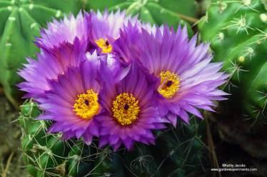 Notocactus ubelmannianus
